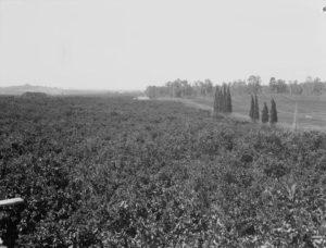Orange Groves 1940s Israel